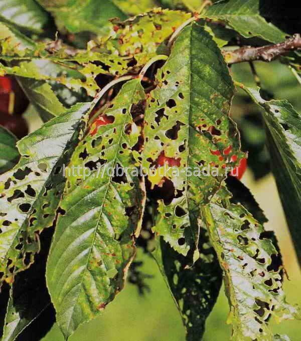 Отмирание корней и огуречная мозаика - каковы симптомы?